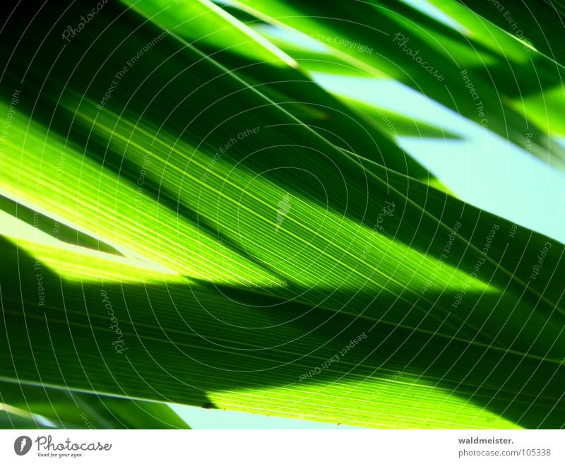 iris Lily Iridaceae Back-light Light Shadow Green Plant Herbaceous plants Garden Abstract Structures and shapes