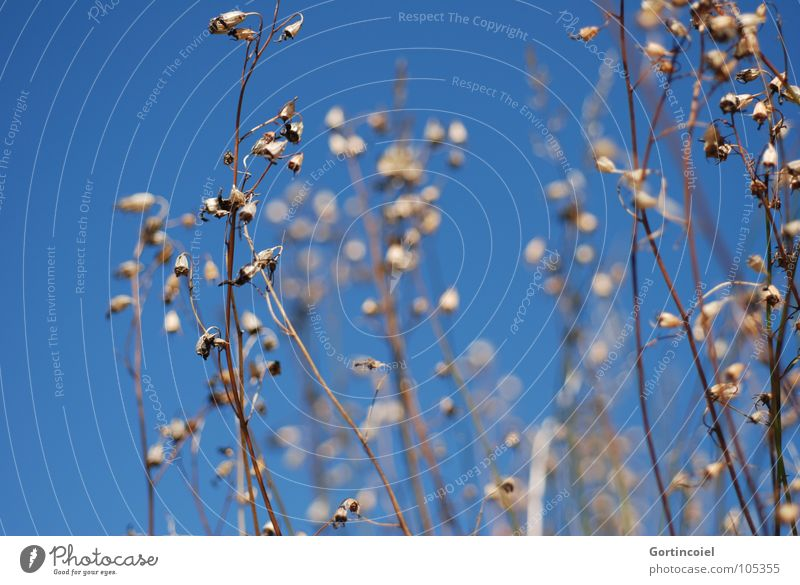 Sky Flower Blue Summer Blossom Grass Warmth Bushes Transience Beautiful weather Bud Blue sky Drought Dried Copy Space Cloudless sky