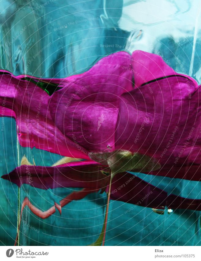 kept fresh Pink Turquoise Cyan Flower Dive Wet Light Plant Stalk Abstract Exceptional Strange Tumbler Lower Blossom Reflection Enclosed Captured Fresh Clarity
