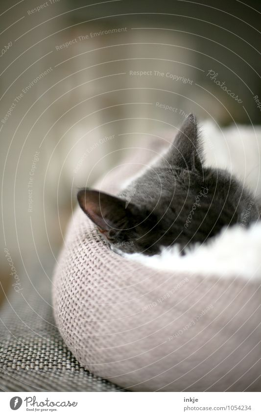cuddly mussel Pet Cat Cat's ears 1 Animal Cushion basket Relaxation Lie Sleep Cuddly Warmth Soft Emotions Moody Safety Safety (feeling of) Warm-heartedness Calm