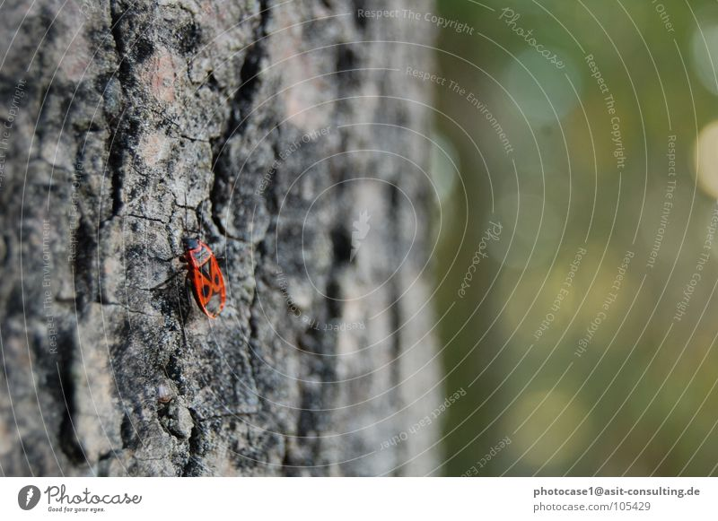 Beetles on the tree Firebug small red beetle Insect in detail red fire beetle Beetles like ladybirds beetle detail image beetle image