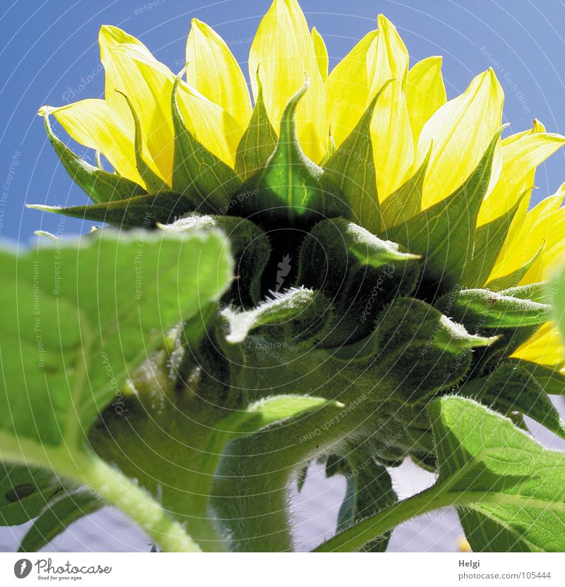 Rear view of a sunflower in sunlight in front of a blue sky Flower Blossom Sunflower Leaf green Vessel Stalk Oval Yellow Green Bright yellow White Dark green