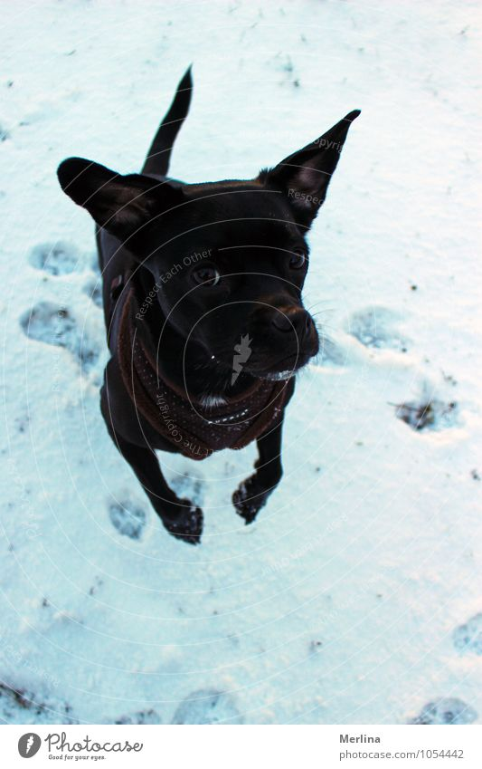 Dog Kiara in the snow Playing Winter Snow Nature Meadow Animal Pet Animal face Animal tracks 1 Movement Freeze Jump Cool (slang) Authentic Cold Natural Joy