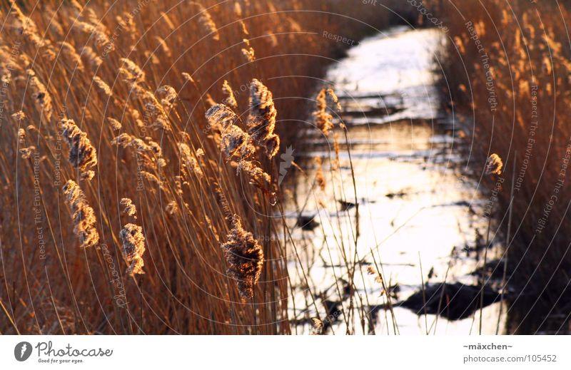 romantic silence Common Reed Brook Sunset Stalk Reflection Waves Romance Calm Rügen River Water Stone Wind Orange wave