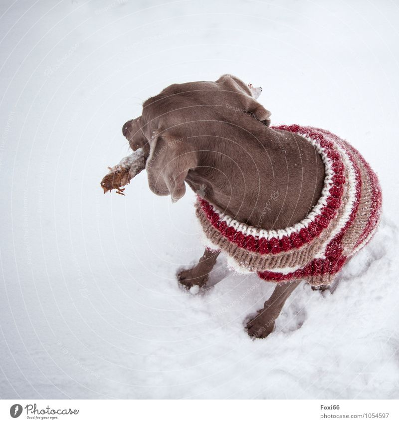 re-dress warmly Nature Winter Climate change Snow Pet Dog 1 Animal Toys Wood little stick Wool sweater Movement Fitness Sit Jump Romp Athletic Cold Trashy Brown
