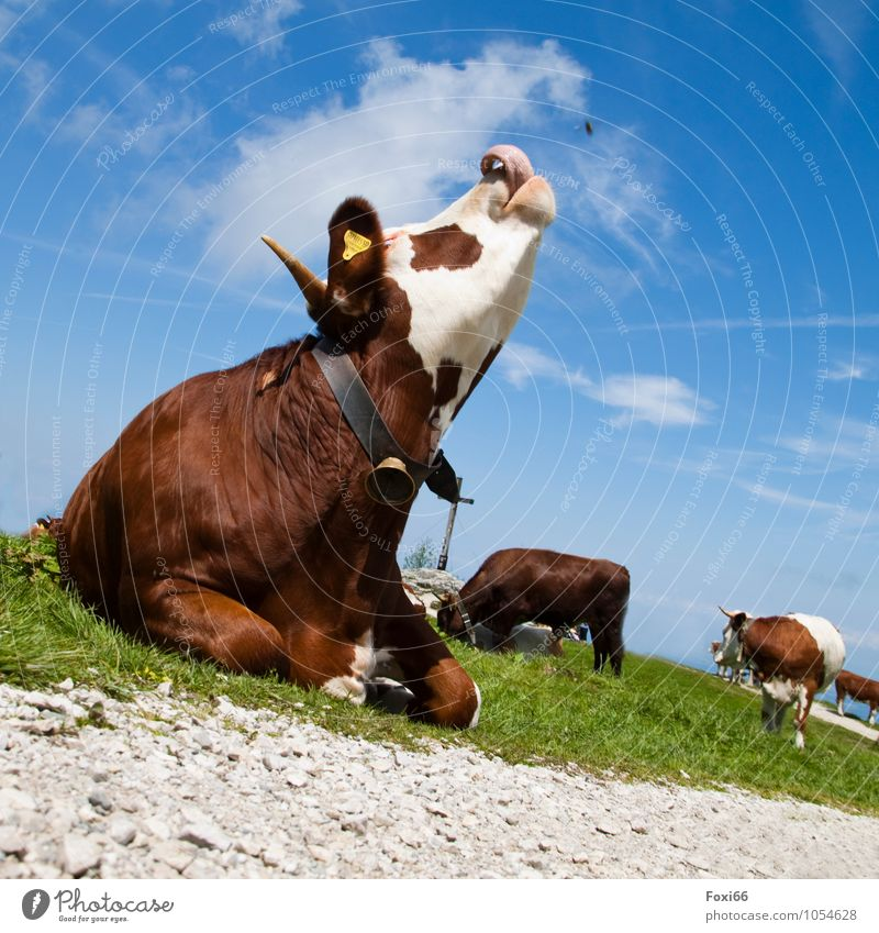 Hut fun / Flycatchers Landscape Sky Clouds Summer Beautiful weather Grass Mountain Farm animal Cow 1 Animal Herd Observe Movement Hiking Exceptional Delicious