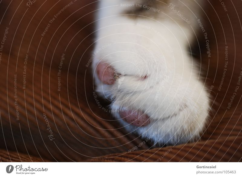 Cord paw I Pet Cat Pelt Paw Lie Soft Brown White Cat's paw Smooth Delicate Colour photo Close-up Detail Macro (Extreme close-up) Deserted 1