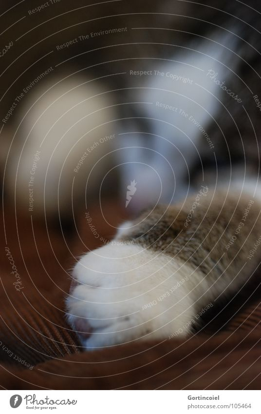Cord paw II Pet Cat Pelt Paw 1 Animal Lie Sleep Dream Cute Soft Brown Calm Cat's paw Smooth Colour photo Interior shot Detail Shallow depth of field