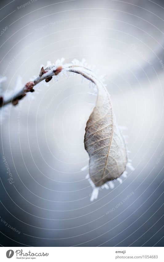 Nature Blue Plant White Leaf Winter Cold Environment Snow Ice Frost