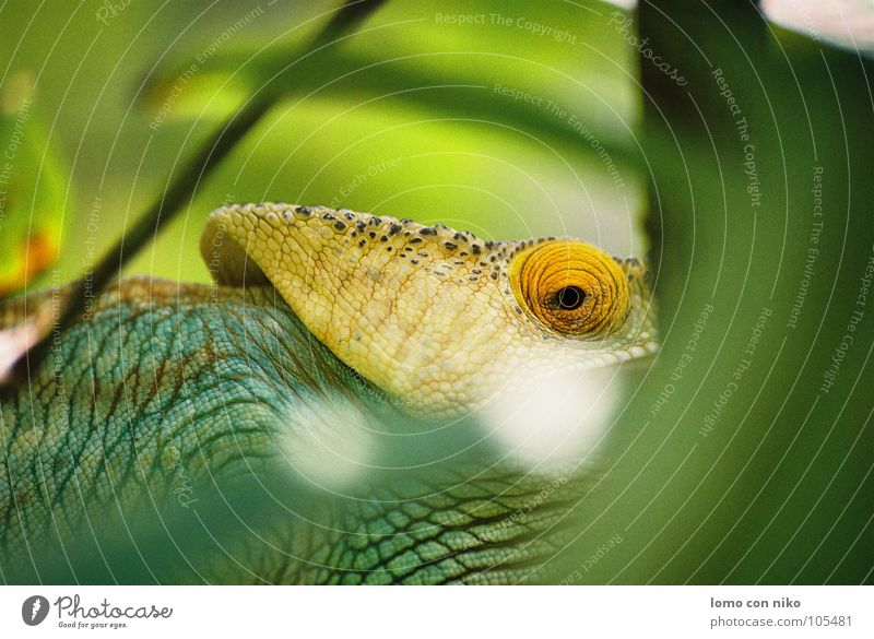 eye Madagascar Chameleon Green Audience Africa Hide Looking Captured Eyes
