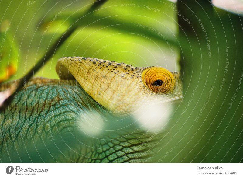Green Eyes Africa Hide Audience Captured Reptiles Chameleon Madagascar
