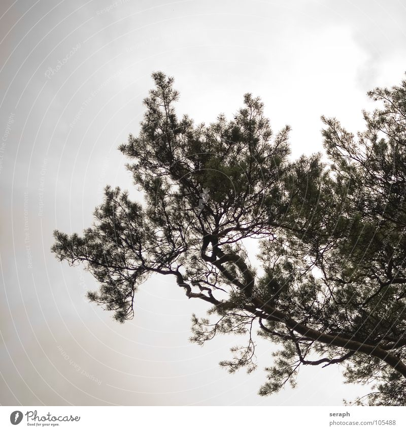 Tree Pine Old Headstrong Branch Structures and shapes Environment Nature Tree bark ramified Coniferous trees Abstract Plant coniferous Wood Japanese Silhouette