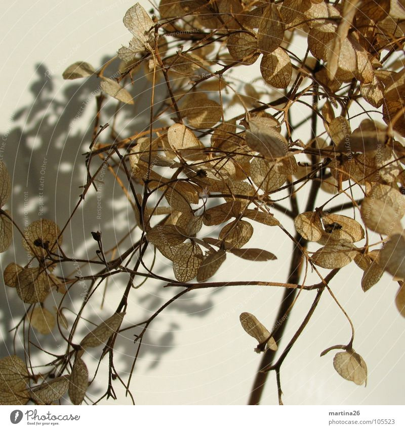 me and my shadow Hydrangea Flower Stalk Dried flower Brown Delicate Shadow Beautiful Plant Blossom Autumn Transience sere filigree Me and my shadow