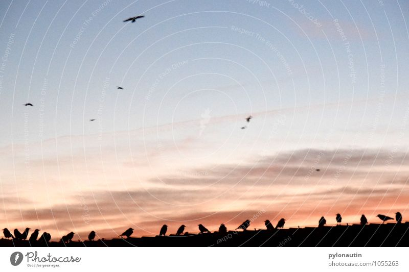 Squatting 1 Sky Clouds Sunrise Sunset House (Residential Structure) Roof Animal Bird Flock Flying Blue Orange Black Crow Colour photo Exterior shot