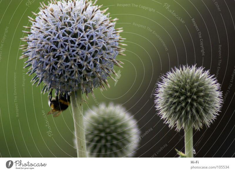 bumblebee Bumble bee Bee Blossom Sprinkle Honey Stamen Flower Pollen Nectar
