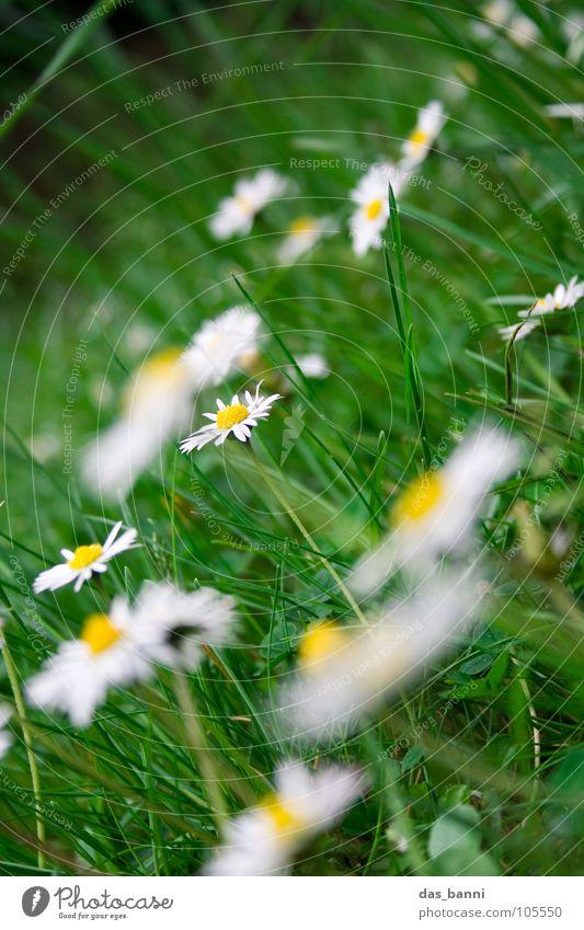 Goose meadow II Daisy Flower Meadow Flower meadow Blur Gardening Grass Alpine pasture Herb garden Garden Bed (Horticulture) Meadow flower Feed Relaxation Fresh