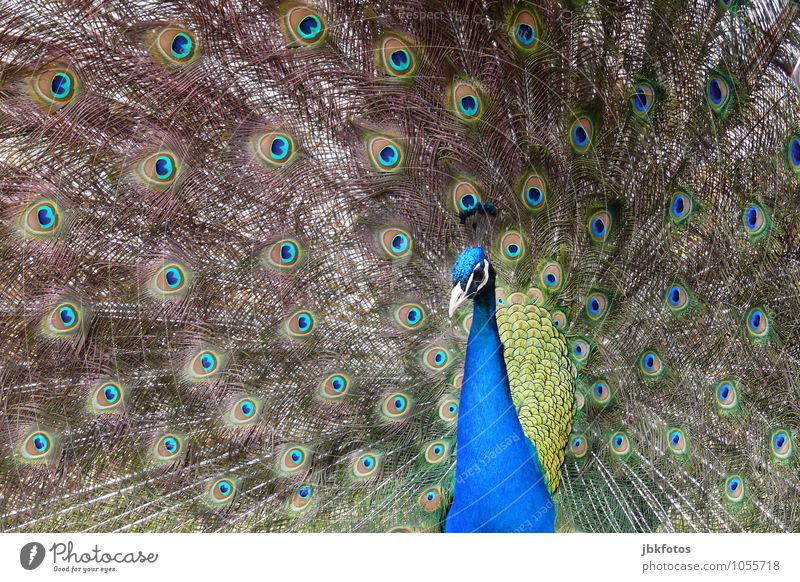 peacock Nature Animal Pet Farm animal Animal face Wing Zoo Peacock 1 Esthetic Beautiful Uniqueness Crazy Exterior shot Deserted Day Central perspective