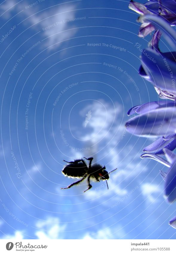 bee in approach II Bee Honey Flower Insect Summer Blossom Clouds Stamen Sky Aviation Blue Nectar Sun Legs Snapshot
