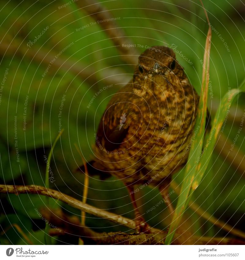 Young Star Bird Animal Feather Environment Brown Green Plant Forest Looking Beak Colour Protection Nature Hide Brash