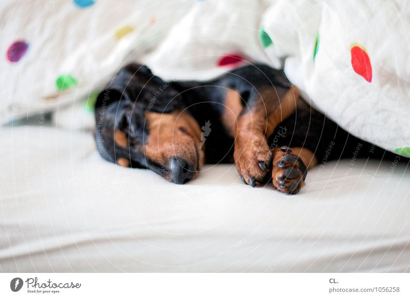 Dog Animal Flat (apartment) Living or residing Cute Sleep Bed Pelt Animal face Pet Blanket Paw Bedroom Claw Love of animals