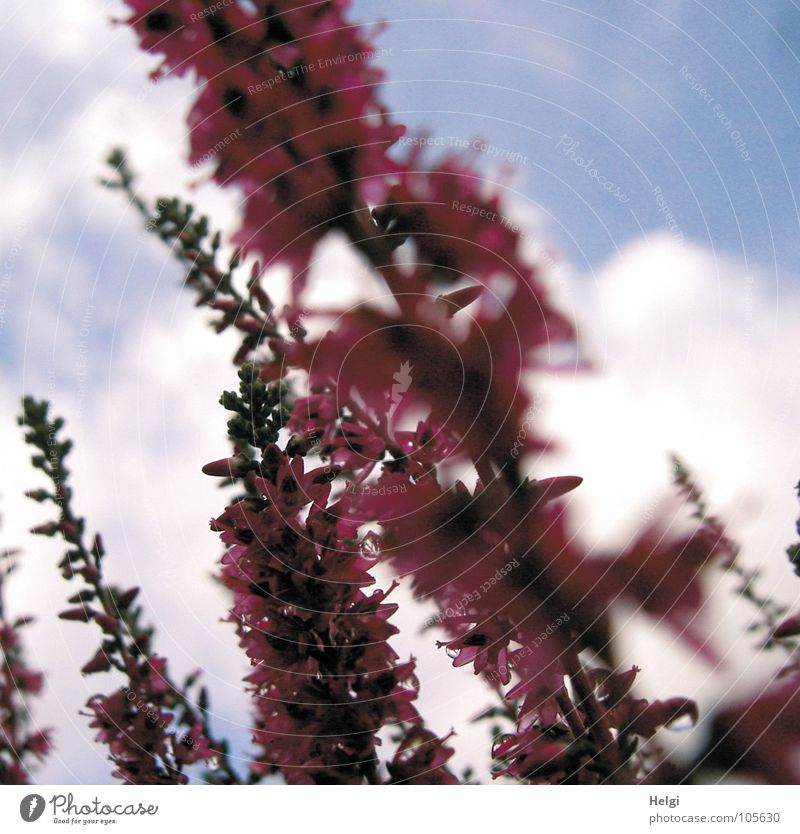 Sky White Green Blue Summer Flower Clouds Autumn Blossom Brown Small Pink Wet Drops of water Blossoming Upward