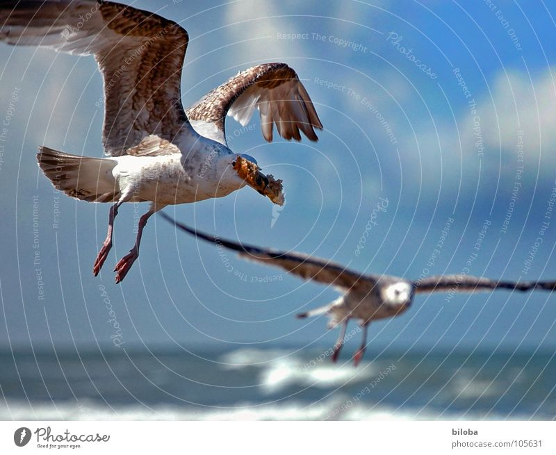 schnapps and gone Seagull Bird Sea bird Glide Wing Theft Catch Purloin Beak Ocean Lake Bad weather Clouds Animal Avaricious Going seagulls seabird Flying