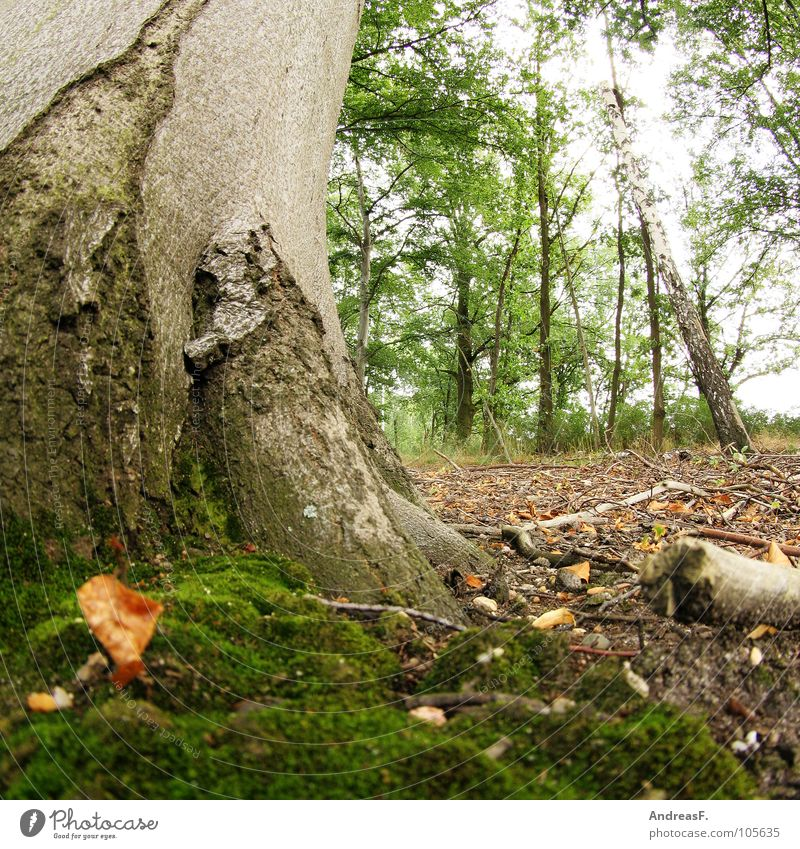 Beech and moss Tree Tree trunk Tree bark Beech tree Beech wood Forest Woodground Leaf Deciduous tree Environment Hedgehog Worm's-eye view Damp Wet Dirty