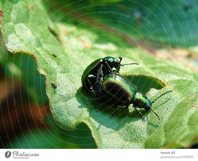 Nature Green Plant Summer Leaf Animal Relationship Beetle Sexuality Senses Offspring Propagation Dipterous