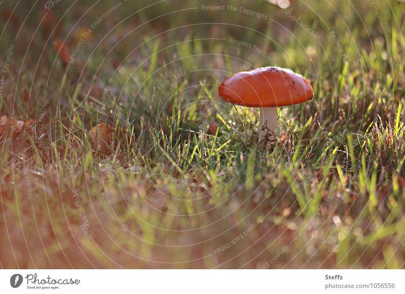 in the autumn sun Nature Autumn Beautiful weather Grass Mushroom Mushroom cap Amanita mushroom Meadow Yellow Green Orange Red Mood lighting Moody Flare
