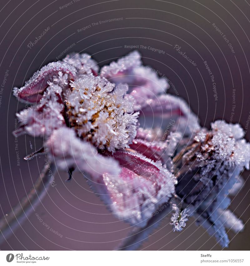 Nature Plant White Flower Winter Cold Autumn Blossom Ice Frost Violet Frozen Freeze Blossom leave November Ice crystal