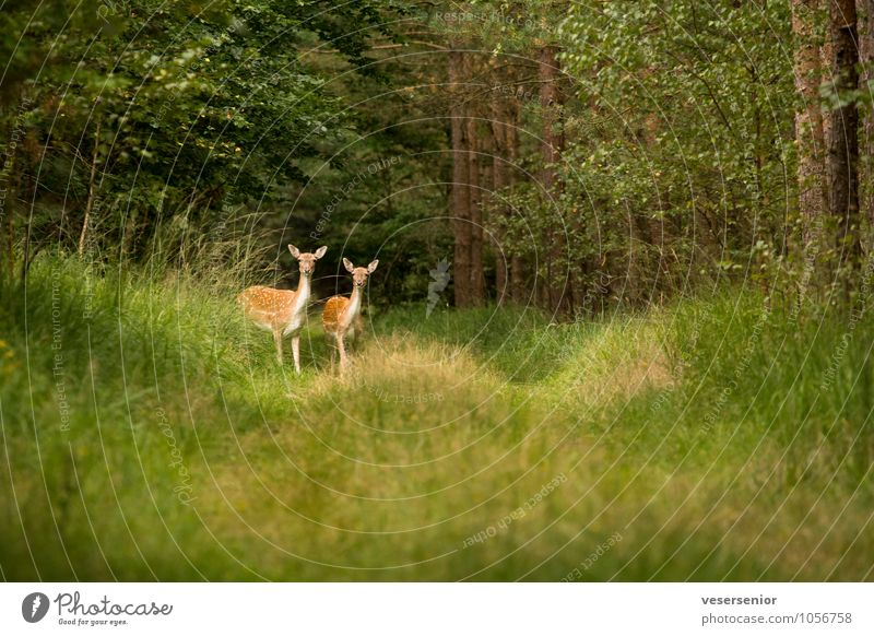 Look, I want a canon like that too! Nature Summer Forest Wild animal Fallow deer 2 Animal Observe Discover Curiosity Green Attentive Watchfulness Surprise