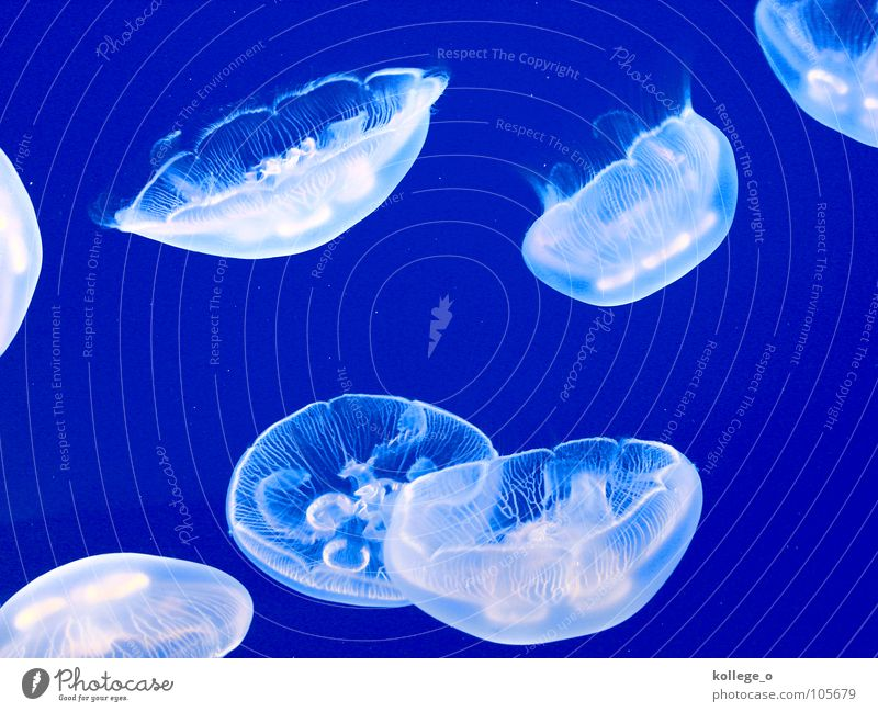 Water Blue Animal Multiple Group of animals Bizarre Underwater photo Graphic Jellyfish Flock Bright background