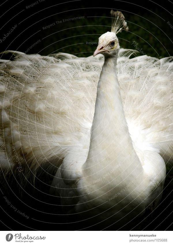 fashion show Posture Bali Zoo Bird feather white exotic crown
