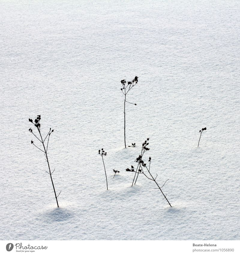 Nature Plant Beautiful White Calm Winter Black Grass Bushes Simple Uniqueness Dry Thin Blade of grass Drought Faded