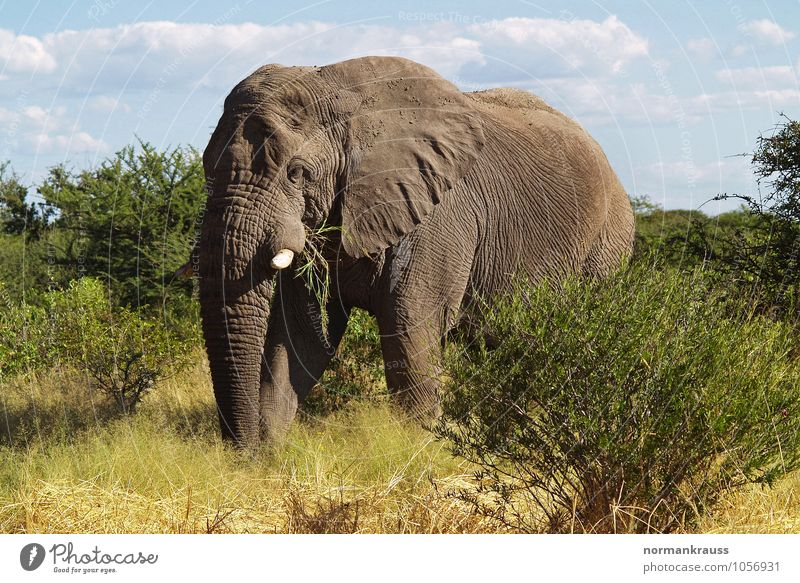 African Elephant Animal Wild animal Trunk 1 To feed Looking Stand Athletic Free Gigantic Large Gray Attentive Watchfulness Colour photo Exterior shot Day