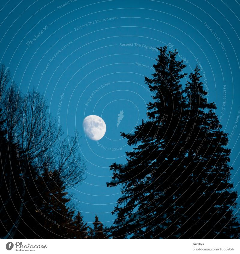 nightshade Nature Sky Moon Full  moon Autumn Winter Fir tree Deciduous tree Forest Esthetic Positive Blue Black White Calm Idyll Pure Change Night sky
