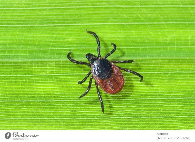Tick; Woodbuck; Ixodes; ricinus; Nature Spider Threat Disgust Creepy Brown Green Fear Wood tick tick bite more bloodsucking Parasite Bloodsucker sign tick