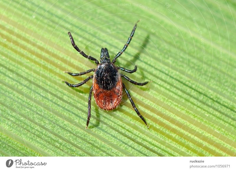 Tick; Woodbuck; Ixodes; ricinus; Nature Grass Spider Free Black White Wood tick more bloodsucking Parasite Bloodsucker sign tick wooden trestle Neutral Set free