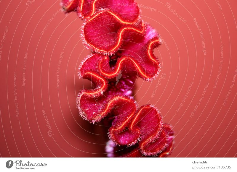 amorphous Wrinkles Waves Red Flower Blossom Physics Line Nature Warmth