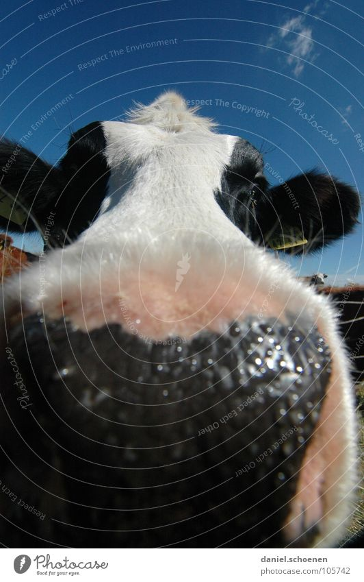 wet kiss Cow Wide angle Agriculture Animal Meadow Summer Green Cyan Vacation & Travel Black Forest Environment Habitat Ecological Clouds Grass Beautiful