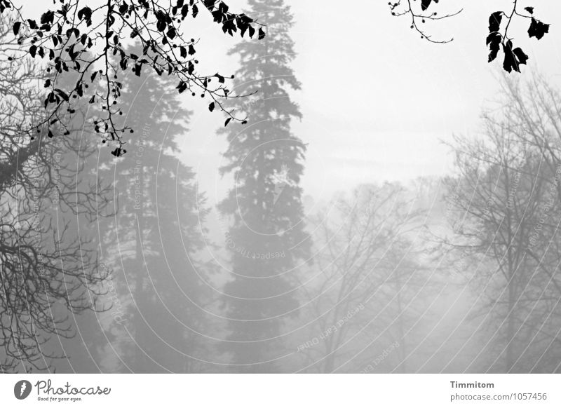 Greyish grey. Environment Nature Landscape Plant Winter Fog Tree Forest Esthetic Natural Gray Black Emotions Deciduous tree Coniferous trees Branch Leaf Limp