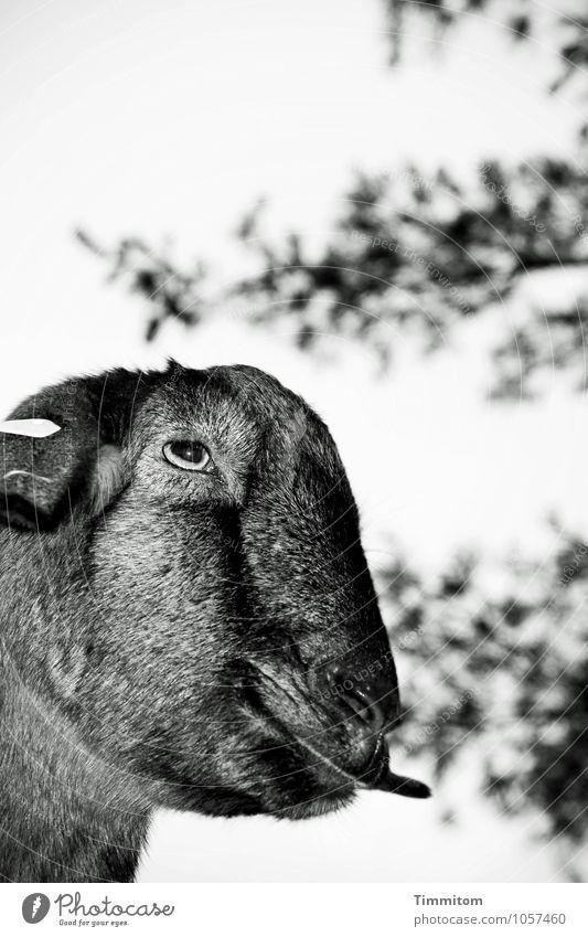 Nature Tree Animal Dark Black Environment Emotions Natural Gray Moody Stand Tongue Goats