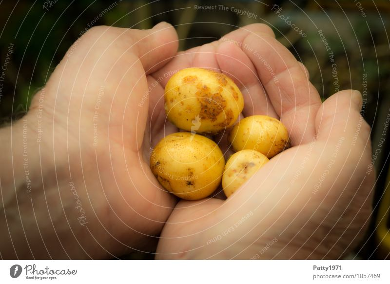For a handful of potatoes Food Vegetable Potatoes Garden plot Gardening Agriculture Forestry Harvest Potato harvest Masculine Hand To hold on Healthy Delicious