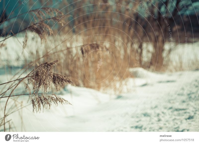 Wintergrass II Nature Landscape Beautiful weather Snow Tree Grass Bushes Wild plant Twigs and branches reeds winter grasses Pond Breathe Relaxation Freeze Faded