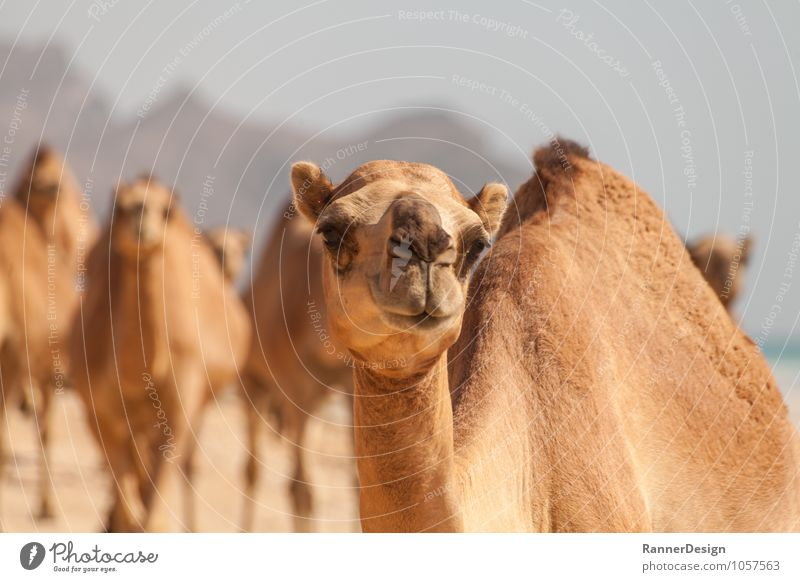 camel view Animal Farm animal Animal face Camel 1 Group of animals Funny Curiosity Brown Yellow Colour photo Exterior shot Close-up Deserted Copy Space left