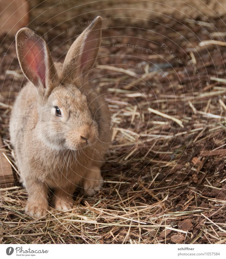 Easter camouflage Animal Hare & Rabbit & Bunny Barn One animal Farm animal Brown Beige Straw Easter Bunny Ear Rodent small animal breeding Deserted