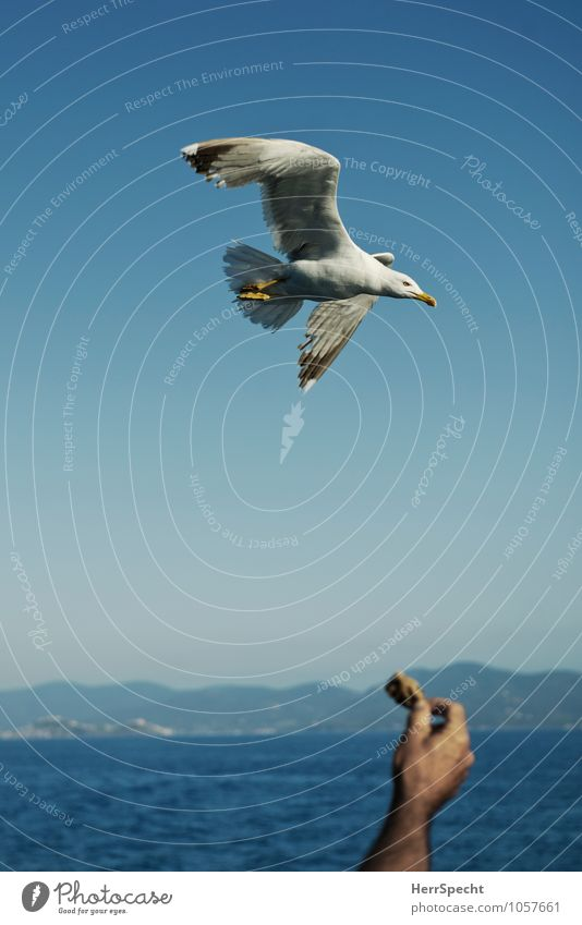 attractant Vacation & Travel Trip Man Adults Arm Hand 1 Human being 30 - 45 years Italy Bird Seagull Gull birds Animal Blue Gray Bait Bread Feeding Floating