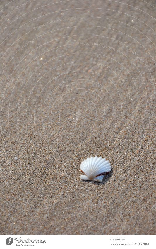 seashell Beach Environment Water Mussel shell Sand Maritime White Emotions Moody Peaceful Calm Vacation good wishes Colour photo Exterior shot Deserted