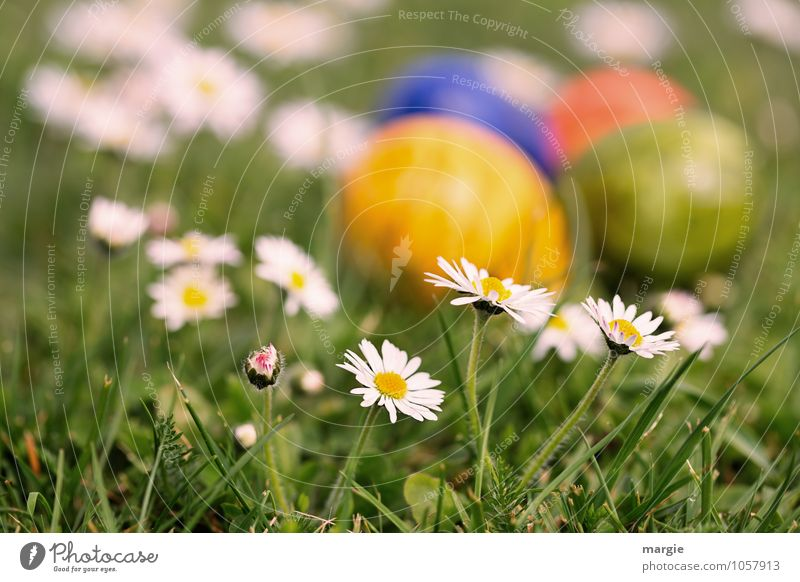 Easter eggs in flowerbed with daisies Food Egg Nutrition Breakfast Plant Flower Grass Leaf Blossom Daisy Meadow Blossoming Growth Green Hide Hiding place Search