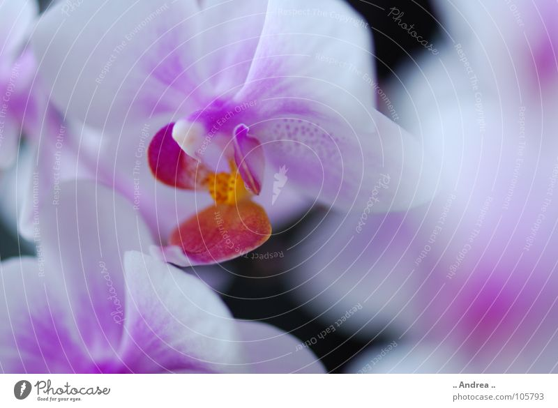 Orchid dream 2 Flower Blossom Blossoming white. purple. flower Noble orchi Colour photo